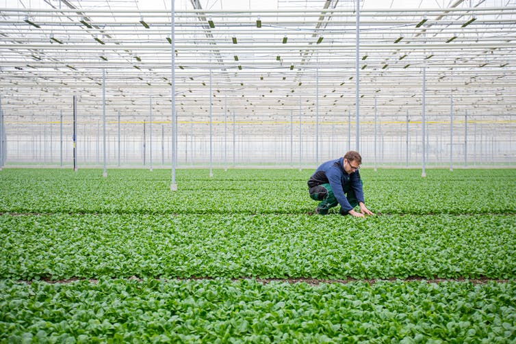 A man tends plants in a greenhouse.