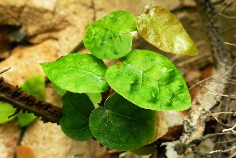 Hojas del ficus trepador, Ficus pumila