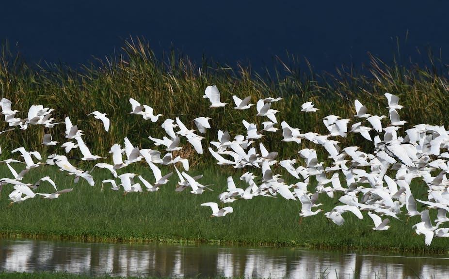 Une volée d'oiseaux près du lac Manyara, en Tanzanie.