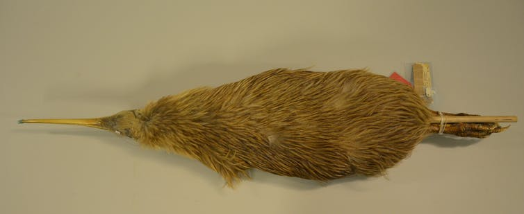 Skin of a kiwi, collected during the 19th century