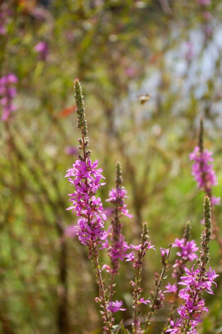 Plantas y flores de salicaria