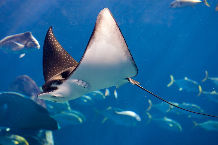 Manta ray with other fish