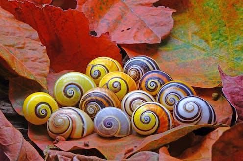 A clutch of colourful Cuban land snails.