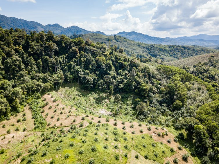 A drone view of a palm oil plantation created through deforestation in Thailand.