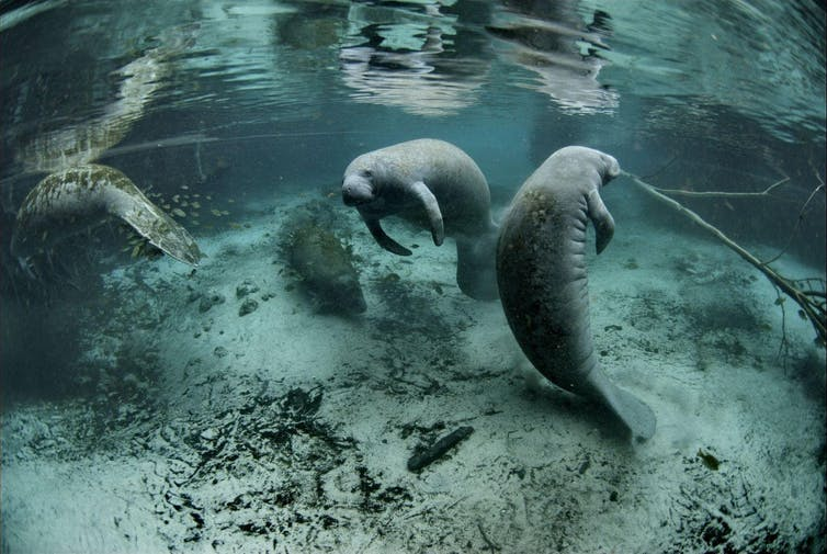 Two manatees swimming underwater