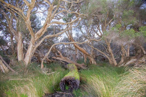 Paperbark trees in a wetland