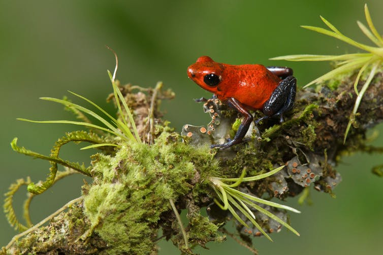 A strawberry poison dart frog perched on a branch.