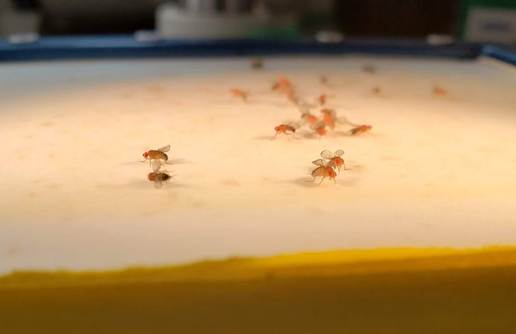 Fruit flies on a table.