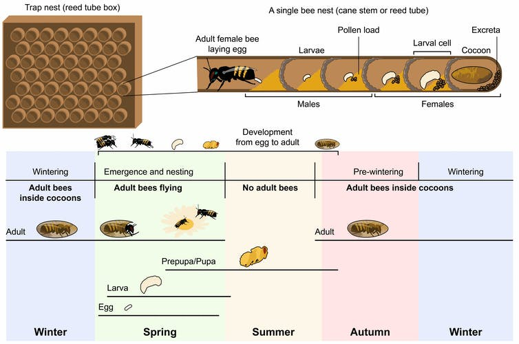 A graphic depicting the life stages of a mason bee.