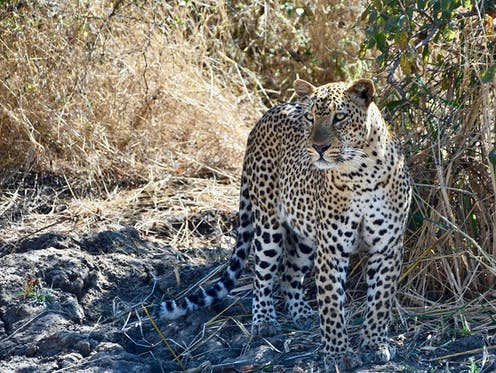 A leopard standing surrounded by dry grassy bushes.