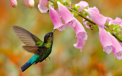 A hummingbird with its beak inside a foxglove flower.
