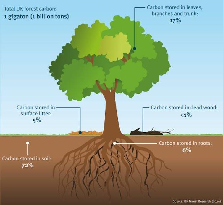 Un gráfico de un árbol que muestra el almacenamiento de carbono.