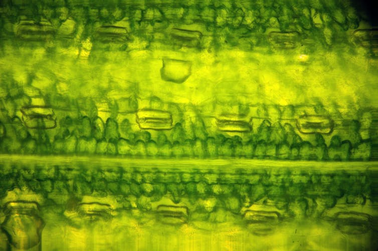 Microscopic close-up of leaf cells.