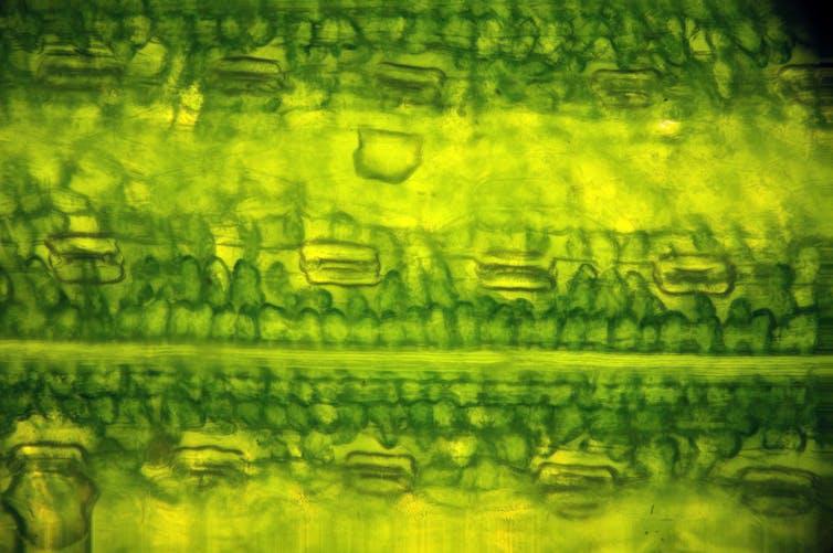 Primer plano microscópico de células foliares.