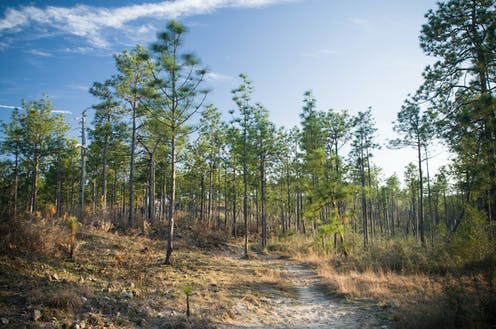 Longleaf pine trees in Kisatchie National Forest, Louisiana
