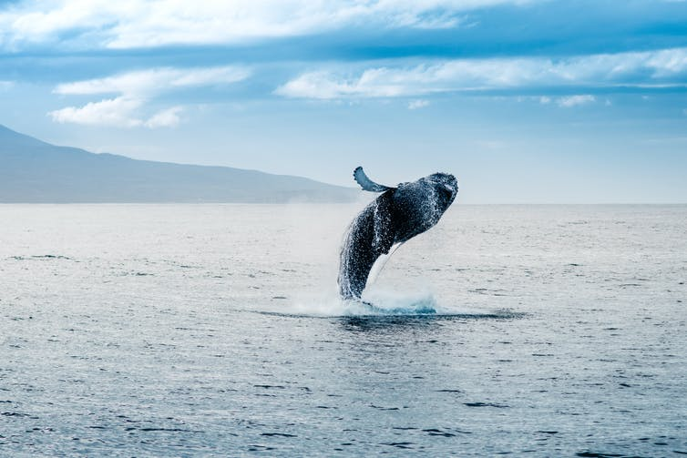 A whale breaches the ocean