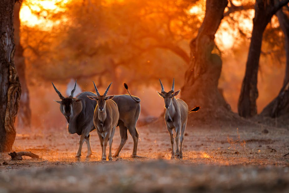 Three horned, hooved animals look towards the camera, backlit by an orange-yellow sky and a landscape of trees. The animals have white stripes on their noses.