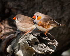 A brightly colored male zebra finch is perched next to a more drab colored female.