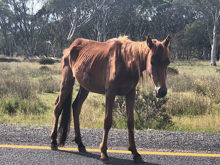 A starving horse on the side of the road