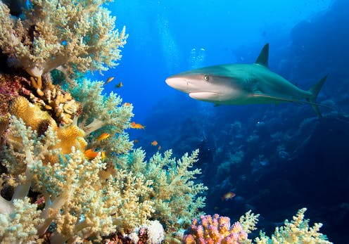 Seekor hiu berenang dekat terumbu karang