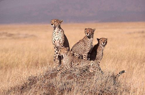 Four cheetahs huddle on a savanna plain.