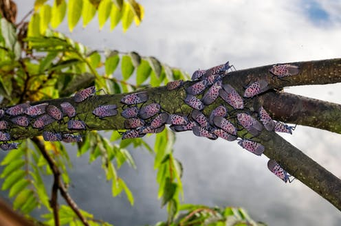 A spotted Lanternfly infestation in Pennsylvania