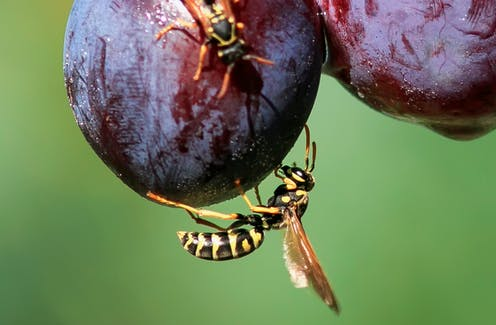 Wasps crawl over plums on the tree.