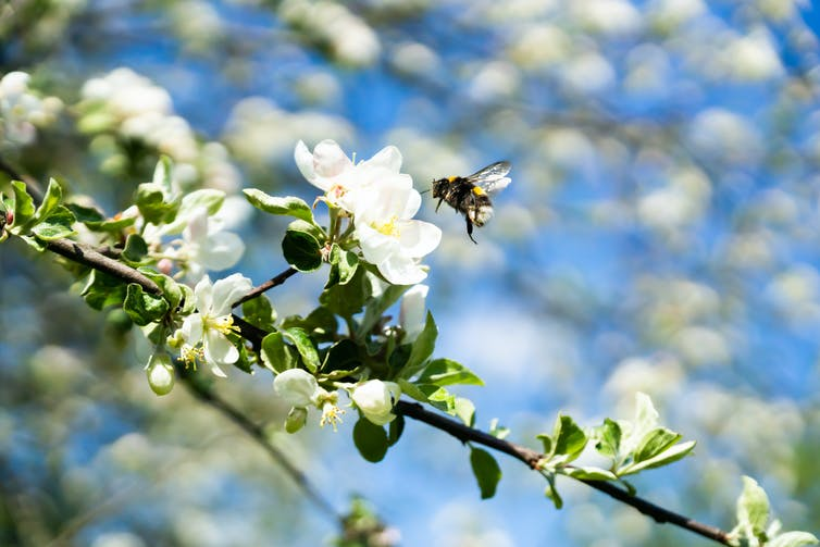 Bee and apple blossom.