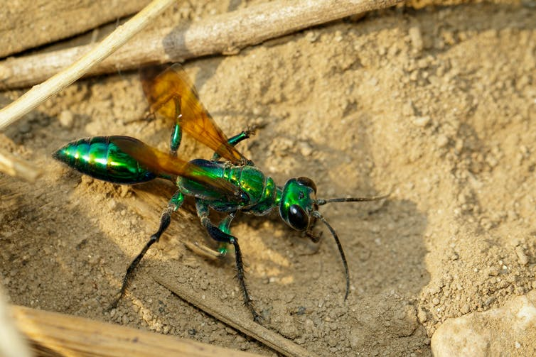 A bright green wasp on sandy ground.