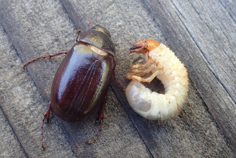 An adult and larval june bug pictured totgether