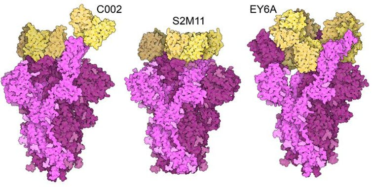 Three images of pink spike proteins with antibodies in yellow