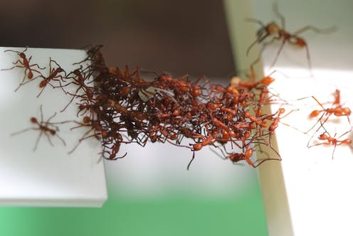 Army ants bridging a gap