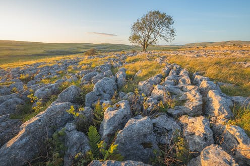 A lone ash tree stands amid a field filled with limestone.
