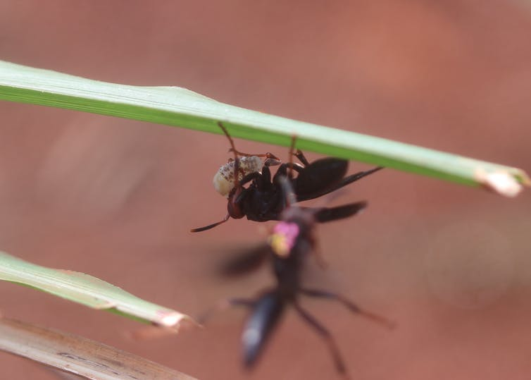 Black wasp on grass capturing grub.
