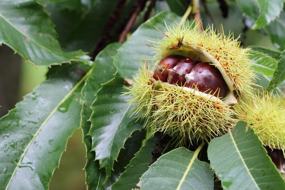A spiky seed pod contains three brown nuts, lying against green leaves.