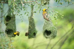 Small yellow birds weave hanging nests in a tree