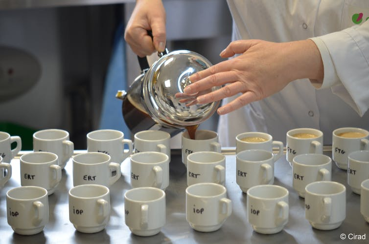A scientist pours coffee from a French press into labelled cups.