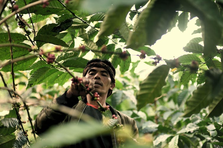 A man picks coffee cherries from a tree.