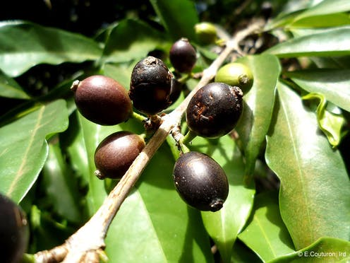 Black coffee cherries on a branch.