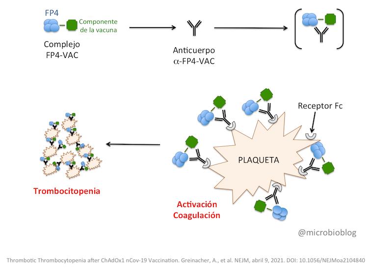 Como se forma o complexo entre as plaquetas e o receptor Fc que estaría a provocar os trombos. Fonte: Greinacher et al.