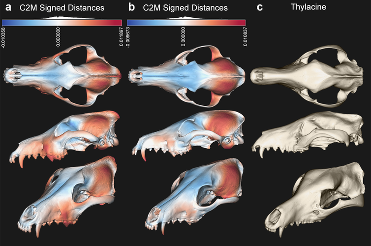 Skulls showing difference between wolf, thylacine and small prey-hunting dogs