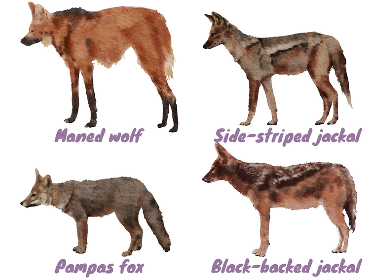 Group of delicate-faced dogs, looking like the thylacine.