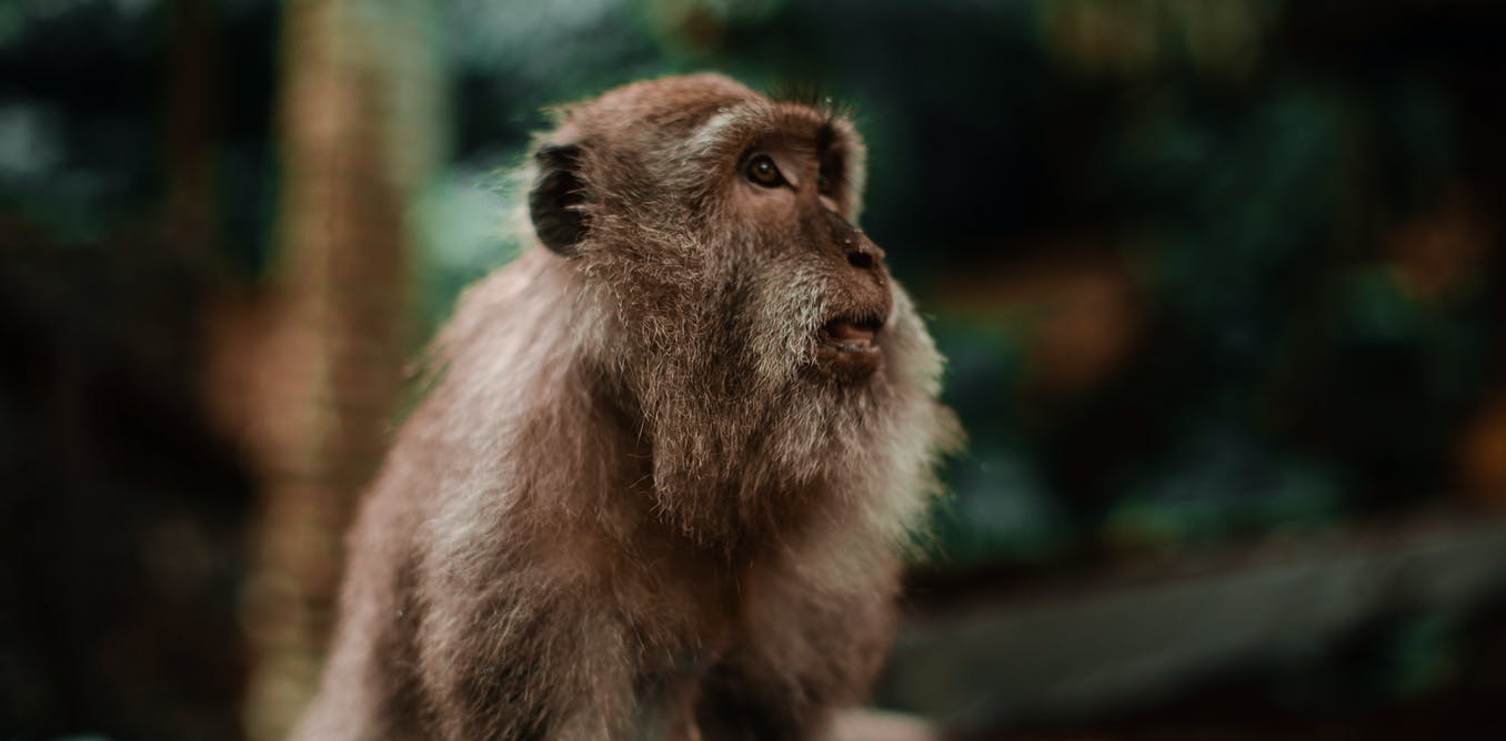 The first embryos created from apes – a small step towards a huge ethical problem