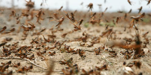 A swarm of locusts on dry soil. Some of the insects are on the ground and some flying.