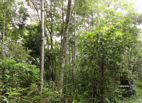 Tropical forest on land previously burnt over.