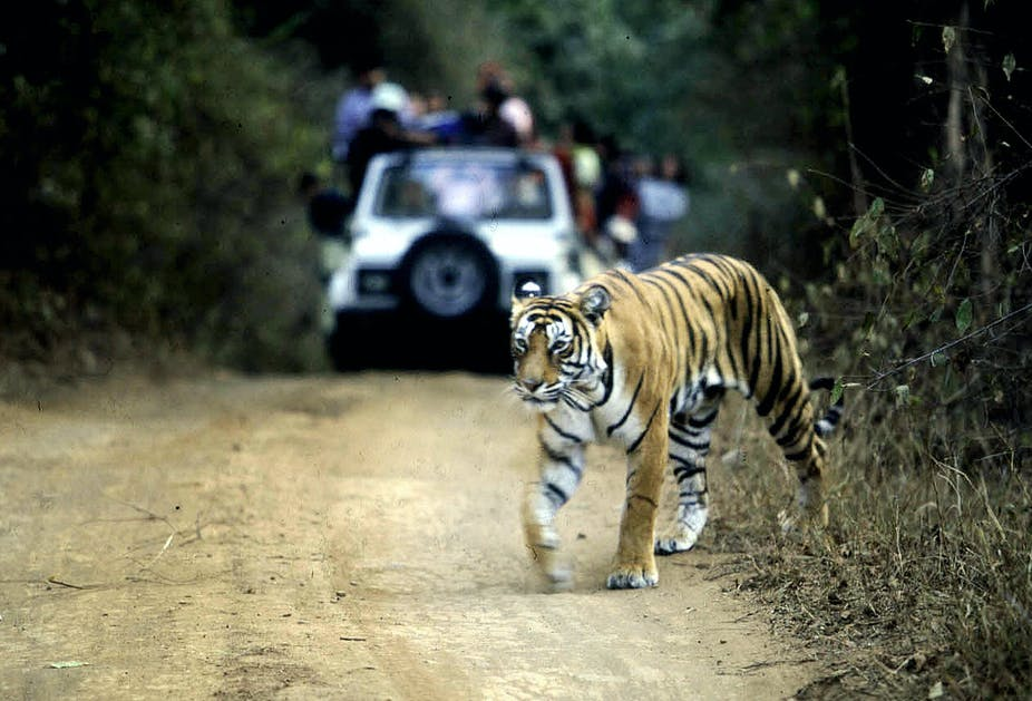 Tiger on dirt road with vehicles stopped in background