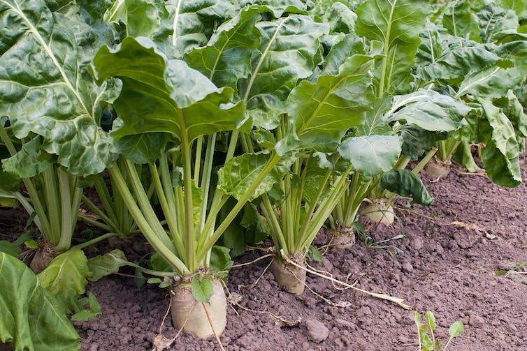 Row of sugar beet plants