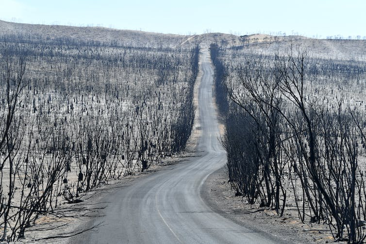 Burnt trees along a straight road