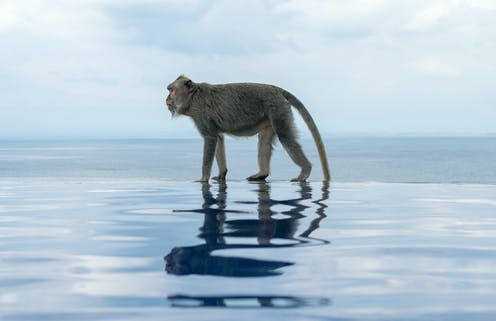 A monkey walking on the edge of an infinity pool with an ocean behind