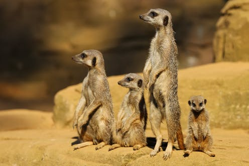 Four meerkats of differing sizes stand and sit on a rock.